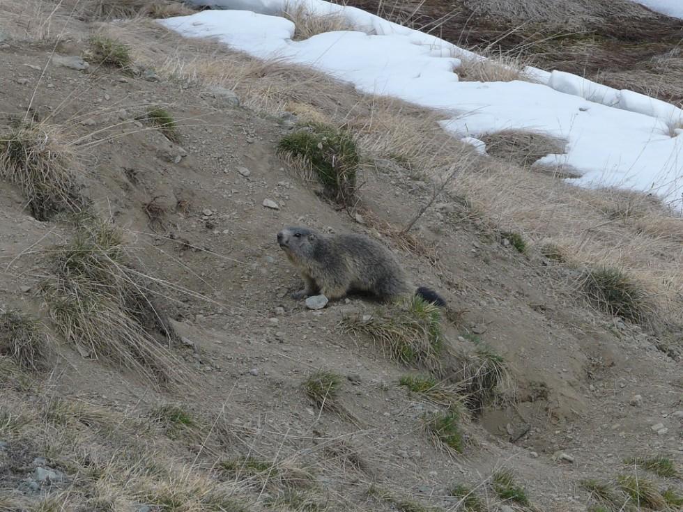 Marmottes à la sortie de l'hiver